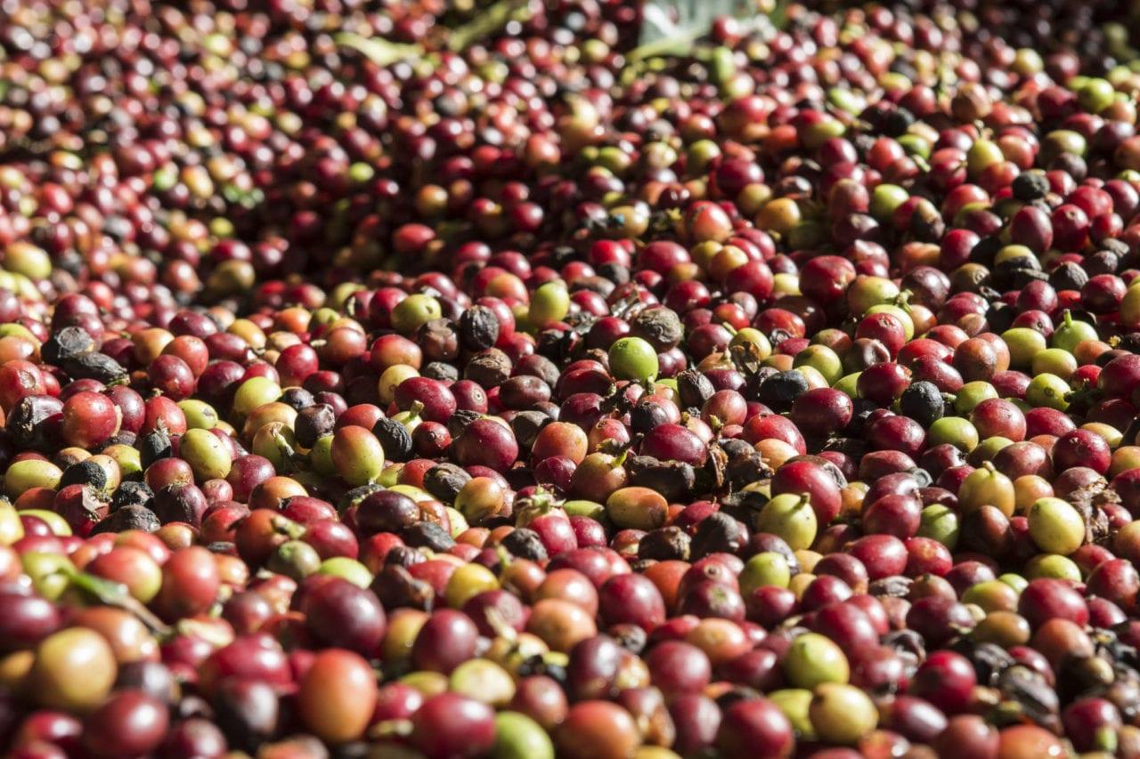 CoffeeCherries-1280x853