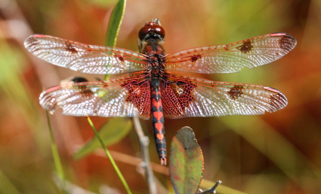 Calico pennant dragonfly (Celithemis elisa). Adirondacks