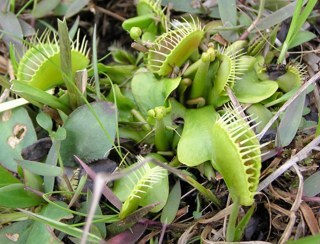 Venus flytrap (Dionaea muscipula) Carnivorous plant