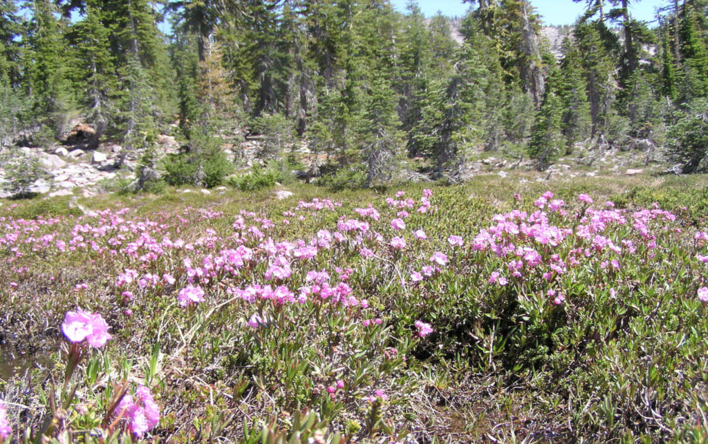 Bog laurel (Kalmia polifolia). Panther meadow, Mt. Shasta, CA. Ericaceae. Bog plant