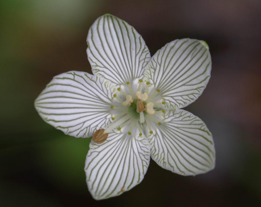 Beautiful flower, Seep Plant, Wetland plant, Grass of parnassus Parnassia glauca McLean bog