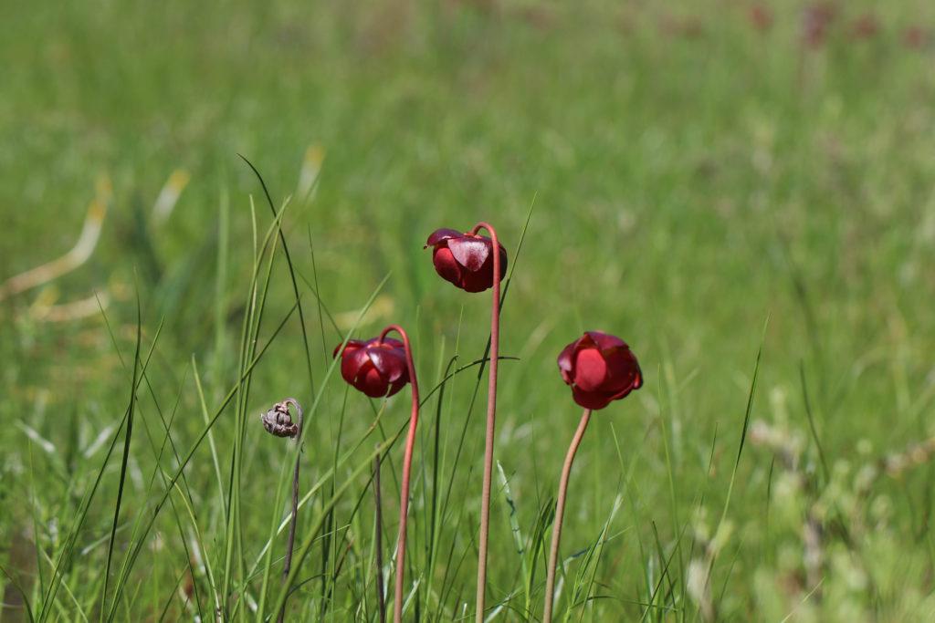 Bog plant, Carnivorous plant, Pitcher plant Sarracenia purpureum