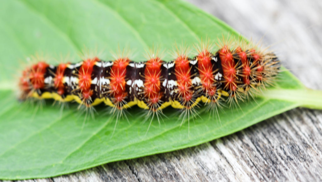Smartweed caterpillar (Acronicta oblinita). McLean bog, NY