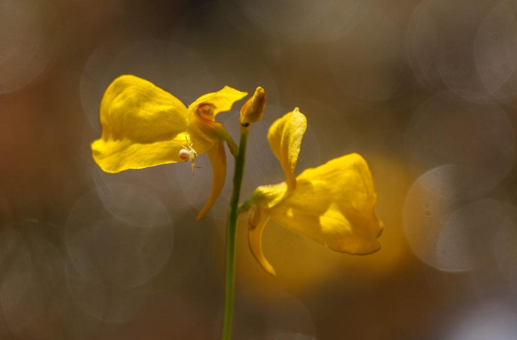 Carnivorous plant, Bog plant, Horned bladderwort, Utricularia cornuta