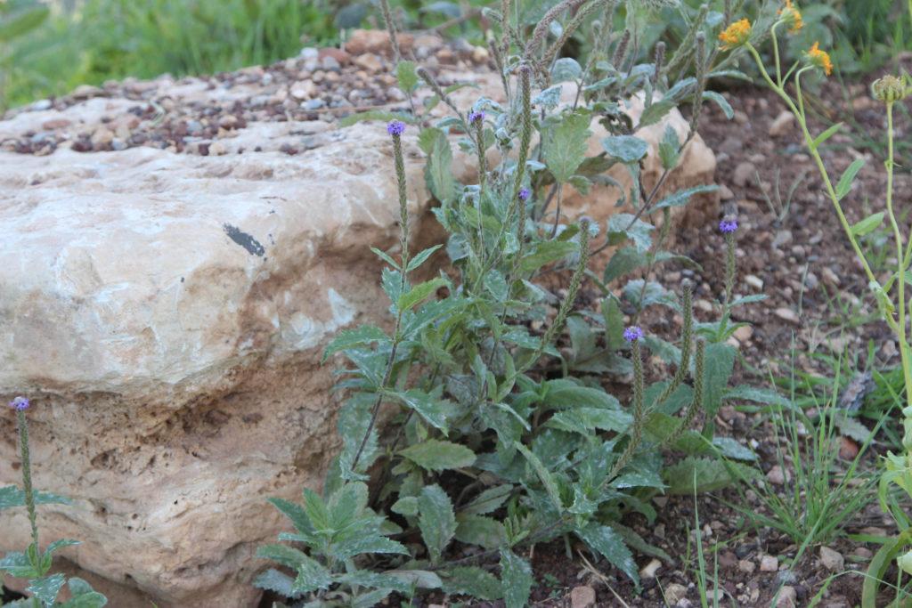 McDougals vervain (Verbena macdougalii). Grand Canyon NP, AZ