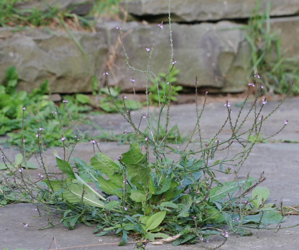 Vervain (Verbena officinalis). Ithaca, NY