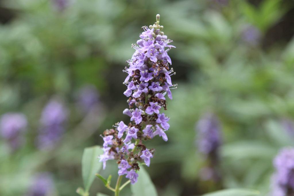 Vitex agnus-castus-Verbenaceae-Vitex-CSHS-Forestville, CA