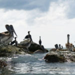 pelicans in redington shores
