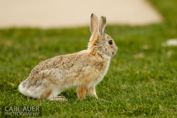 April 29th, 2013:  A rabbit watches the soccer game between the Wheat Ridge Farmers and D'Evelyn Jaguars prior to running onto the field at the North Area Athletic Complex in Arvada, Colorado