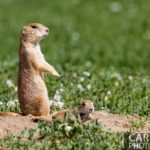 Standley Lake Prairie Dogs