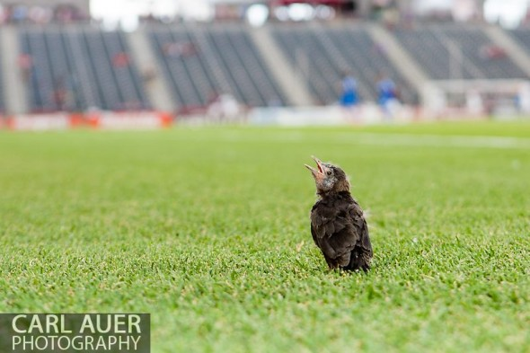 June 15th, 2013 - A juvenile bird sits on the pitch taking in the pre game warm ups prior to the start of the MLS match between San Jose Earthquake and the Colorado Rapids at Dick's Sporting Goods Park in Commerce City, CO