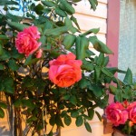 Roses at the Gingerbread Cottage