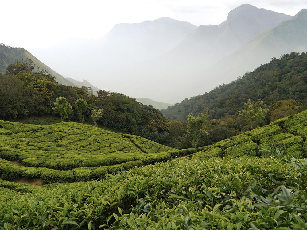 Munnar, Kerala, India, Tea plantations, hotels in munnar, tours in munnar