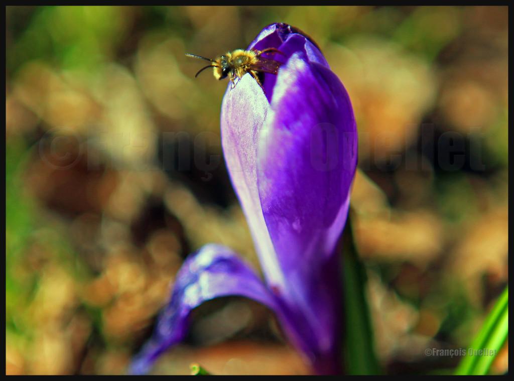 30 avril 2012: une abeille sort d'un crocus, profitant de la chaleur du soleil matinal.