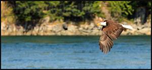 Aigle observé dans la région de Campbell River, Colombie-Britannique, été 2012.