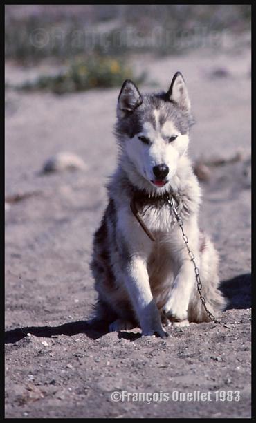 Un chien esquimaux canadien (Jordan) à Inukjuak en 1983