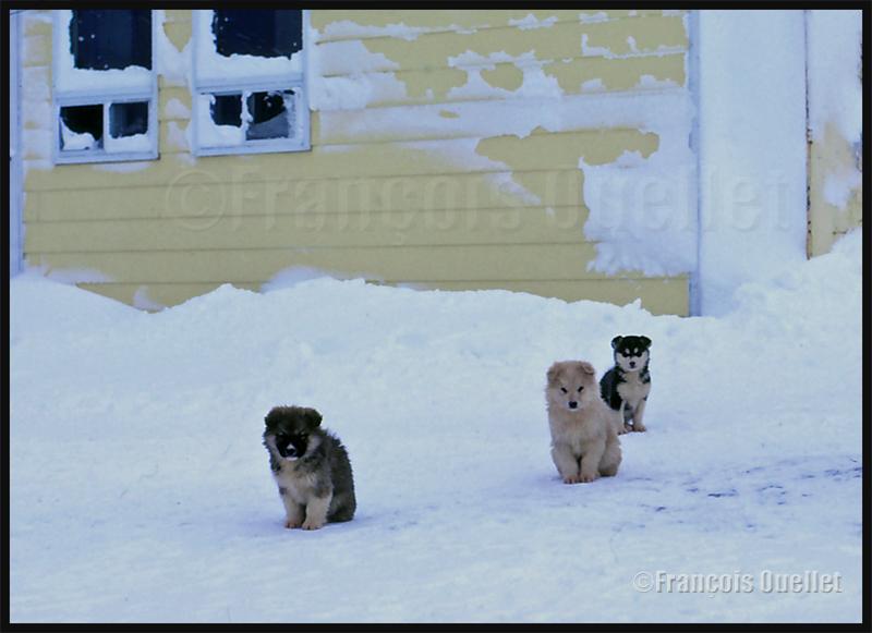 Chiots esquimaux canadiens devant une maison de Inukjuak en 1983