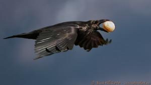 Corbeau photographié par Brad Hill en 2010