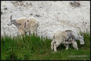Chèvres de montagne dans le Parc National de Jasper, Alberta, Canada en 2014