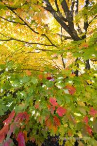 Feuilles d'érable durant l'automne 2016 à Stoneham, au Québec.