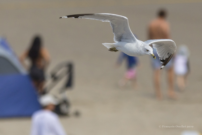 A seagull flies over the beach in Ogunquit, waiting for opportunities.