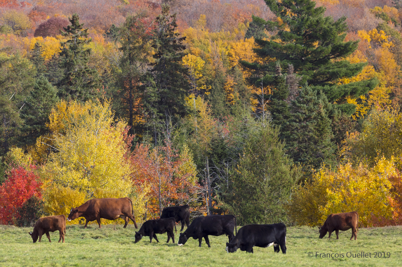 Cows and autumn colors in Quebec.