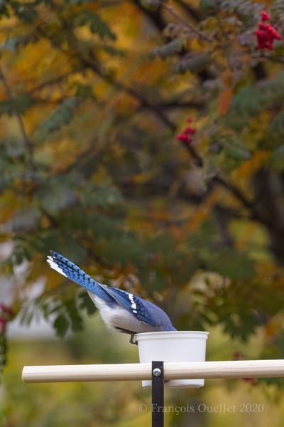 Geai bleu mangeant des arachides.