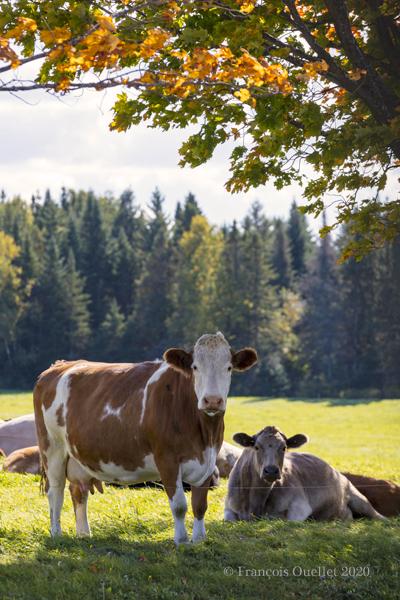 Vaches et paysage automnal québécois 2020