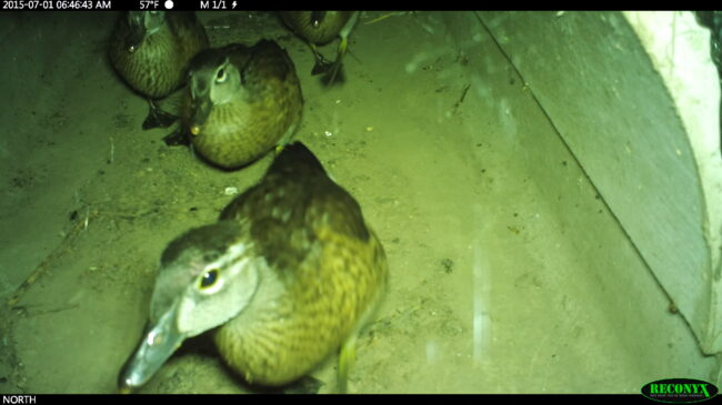 Ducks in ACO Wildlife Tunnel