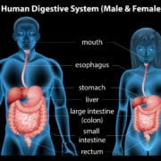 Chiropractic care can improve digestive system