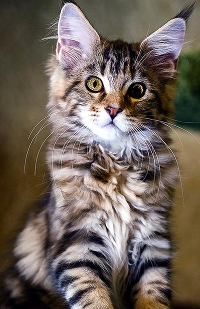 adopt-cat-cropped-insert-1