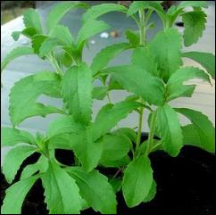 beautiful stevia plant