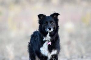 Raven, stimulus dog