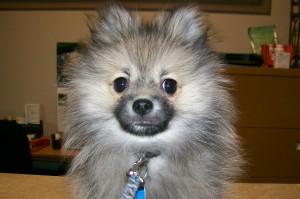 Chewie the Pomeranian