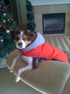 beagle mix in coat