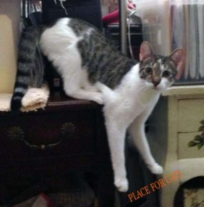 Lincol a cat available for adoption at Place for Cats a New York rescue