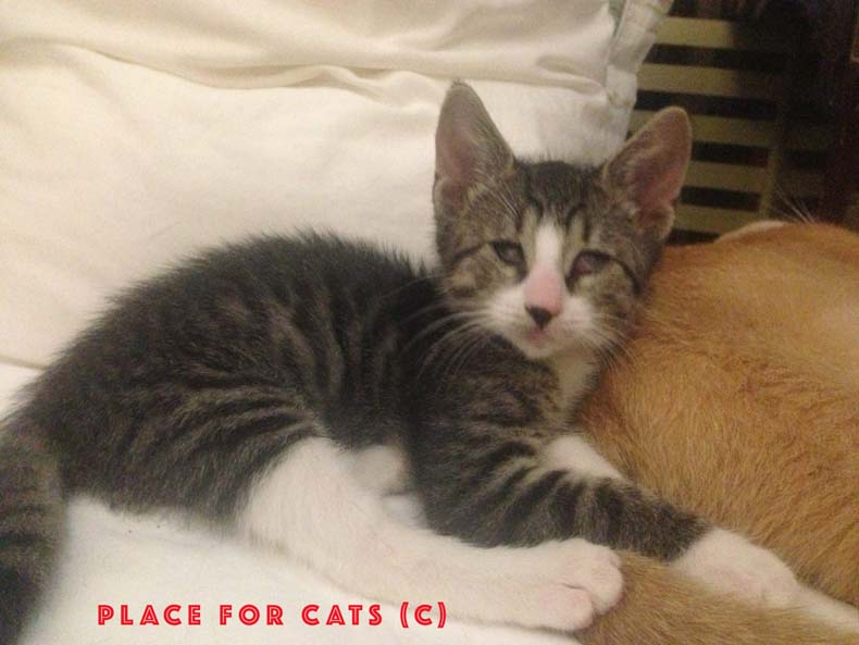 blind cat Bogart at place for cats foster network