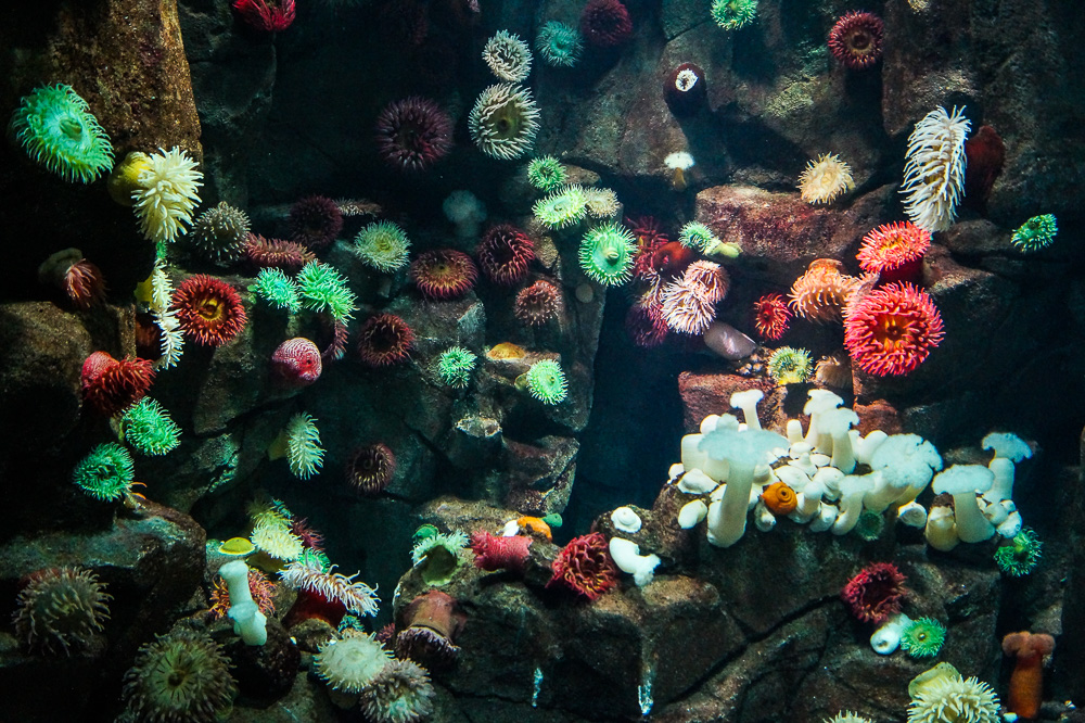Sea Anemones at the Ripley's Aquarium of Canada