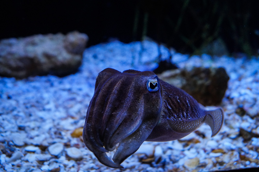 Cuttlefish at the Ripley's Aquarium of Canada
