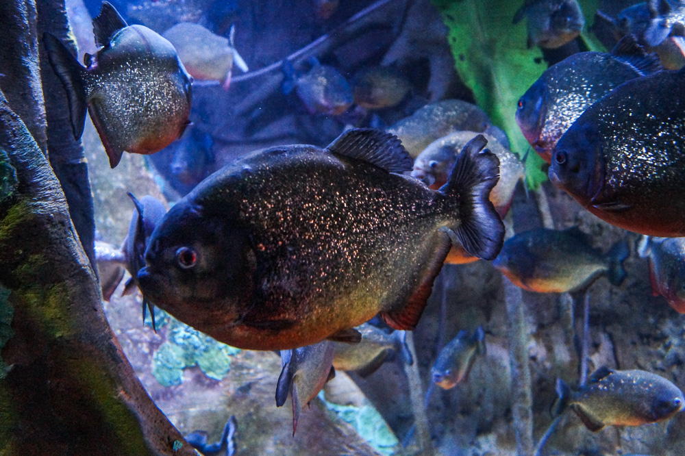 Piranha Fish at the Ripley's Aquarium of Canada