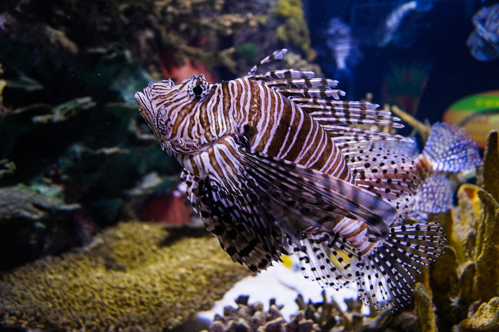 Red Lionfish at Ripley's Aquarium of Canada
