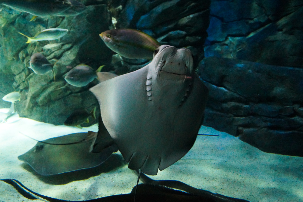 Stingrays at the Ripley's Aquarium of Canada