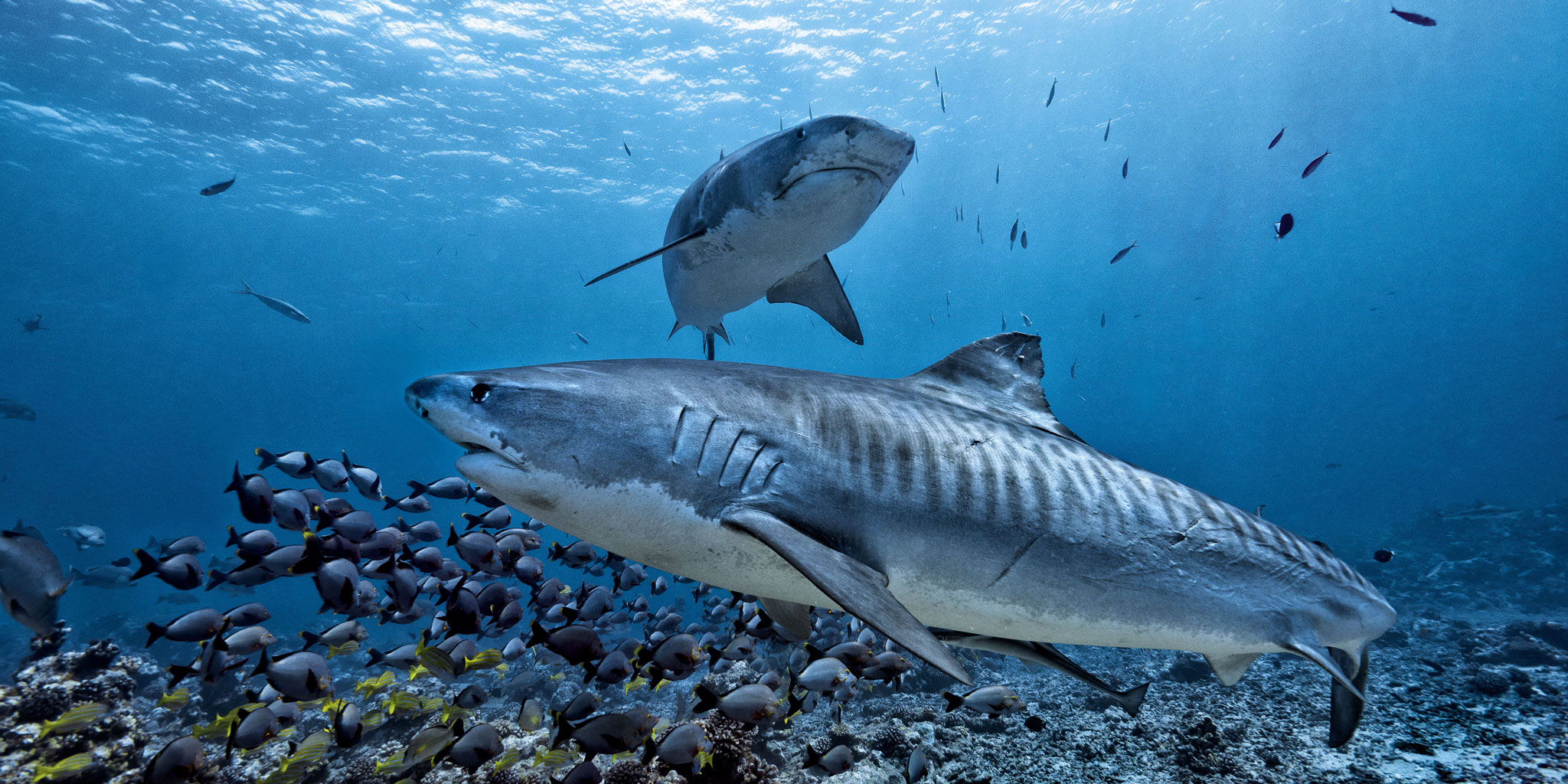 tiger sharks swimming underwater
