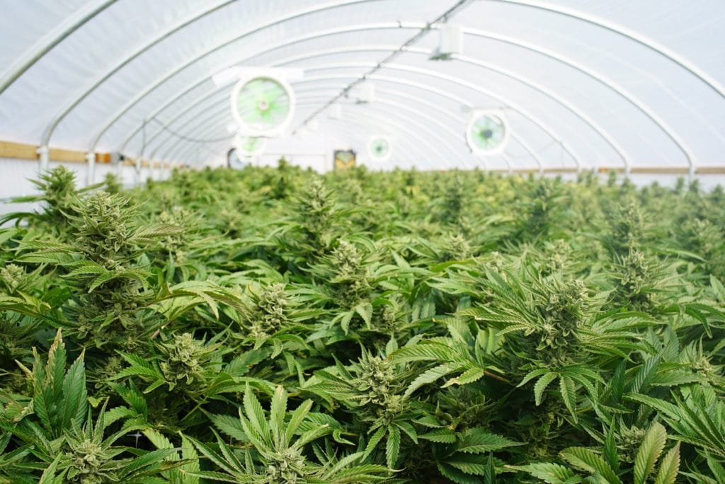 A cannabis grow operation greenhouse