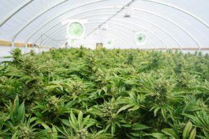 A cannabis grow operation greenhouse