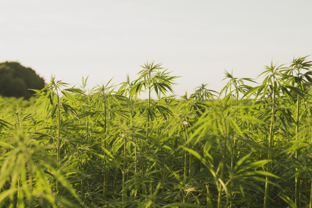 Industrial hemp or cannabis farm plantation
