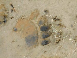 Bear paw print on beach