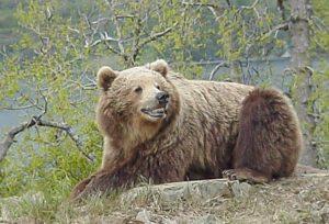 Smiling Bear Full Size
