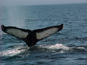 chiniak humpbacks 17 august 2003
