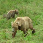 Two bears in a field in Kodiak Alaska.